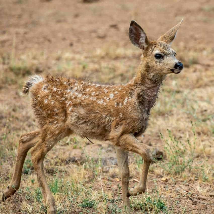 Dead-deer-meaning