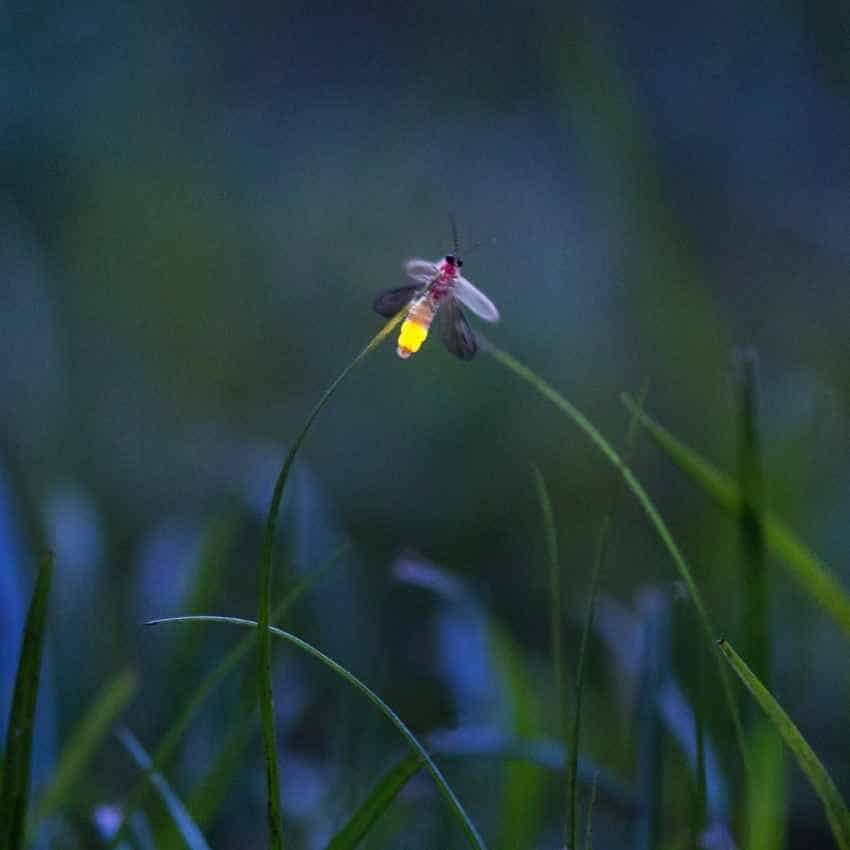 Firefly dream meaning