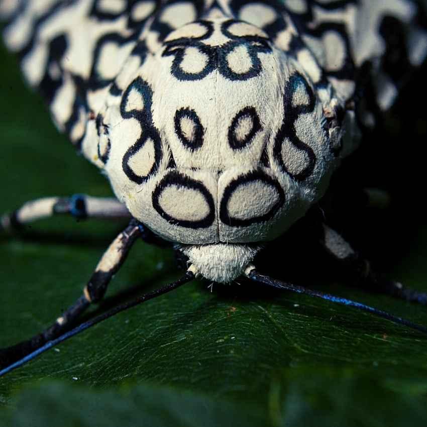 Giant leopard moth symbolism