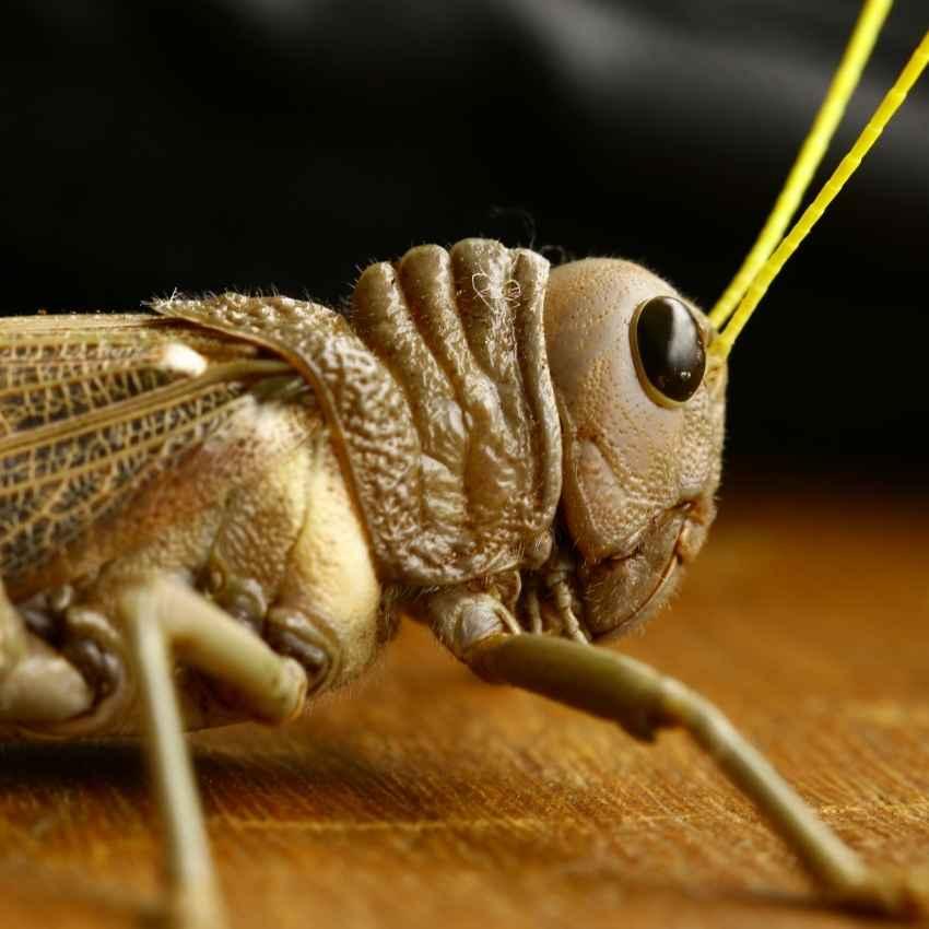 Grasshoppers often symbolize good luck