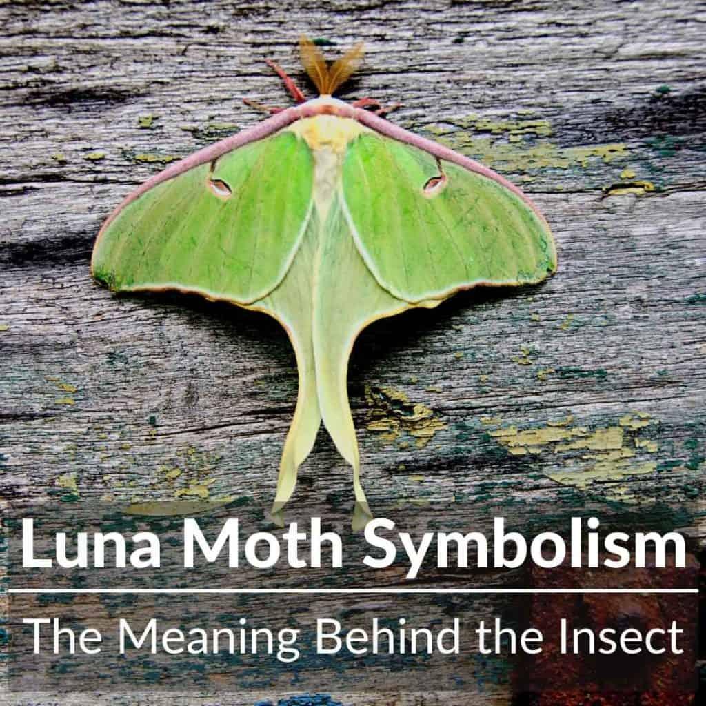 Luna Moth Symbolism