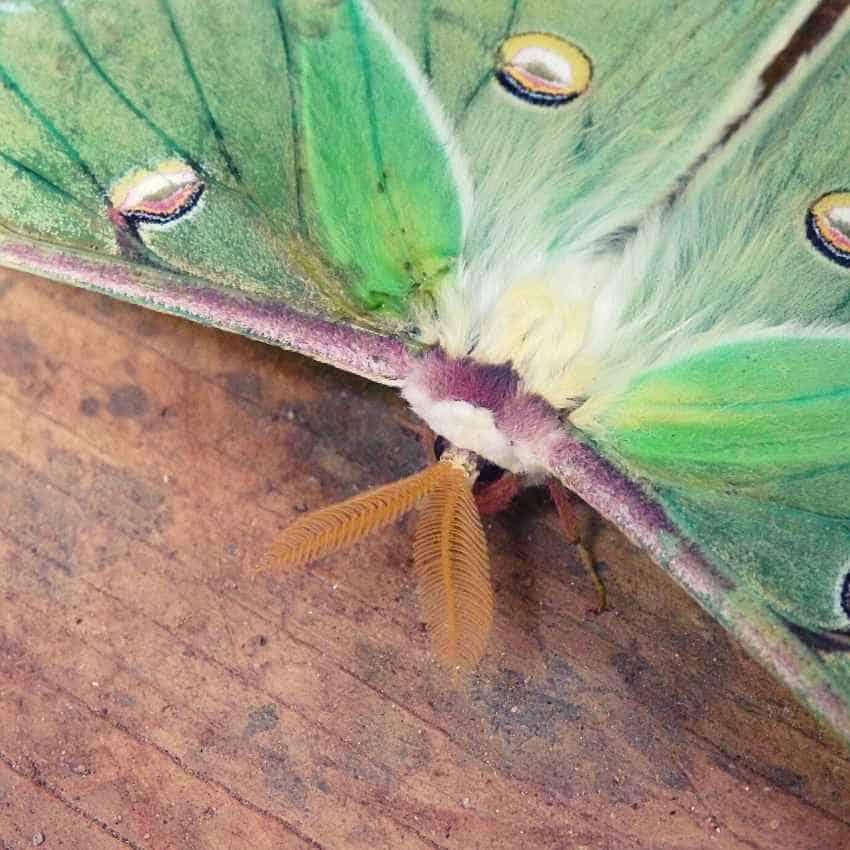 Spiritual meaning luna moth
