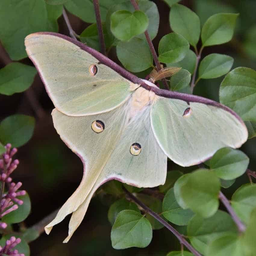 What does a luna moth symbolize