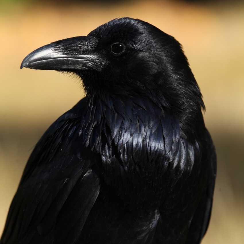 black raven feather