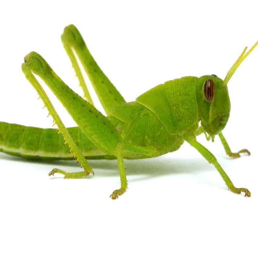 grasshopper spirit animal