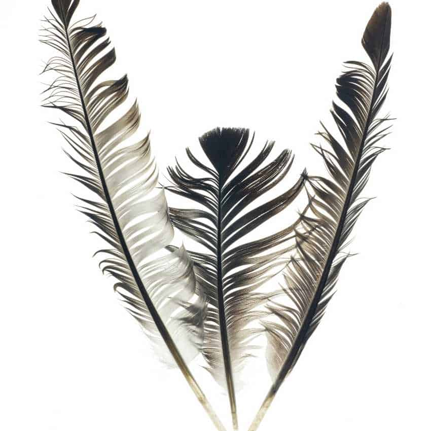 Gray feather