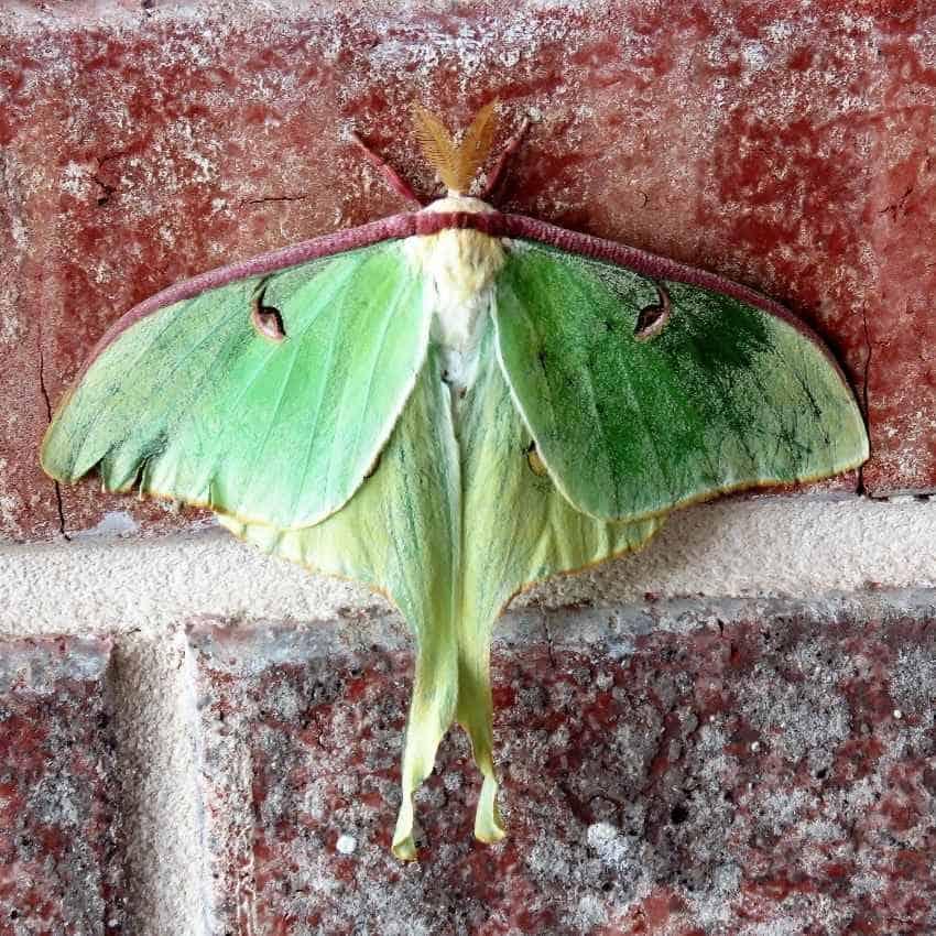 meaning luna moth