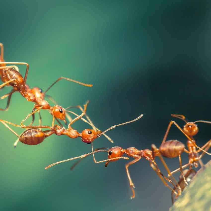 meaning of the ant totem