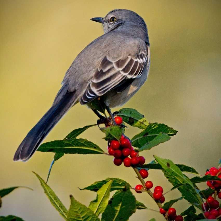 Mockingbird feather