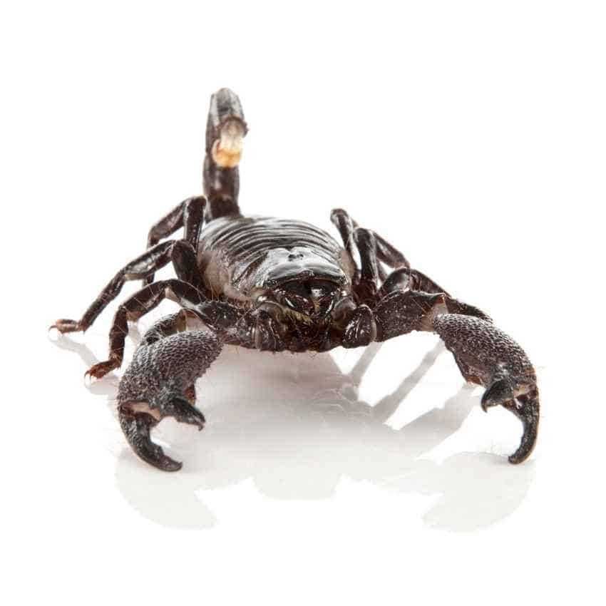 scorpion white bgr