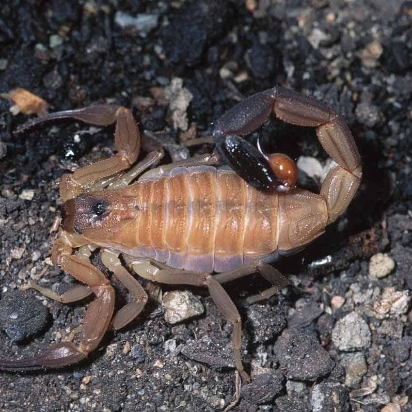 scorpion dreaming