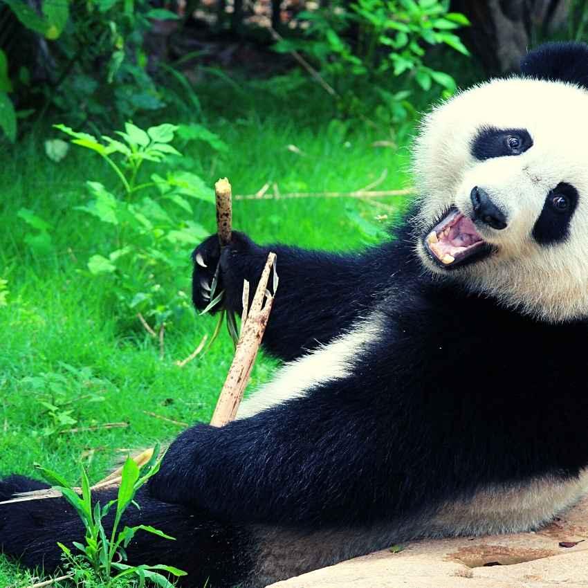 Animal totem of the Panda