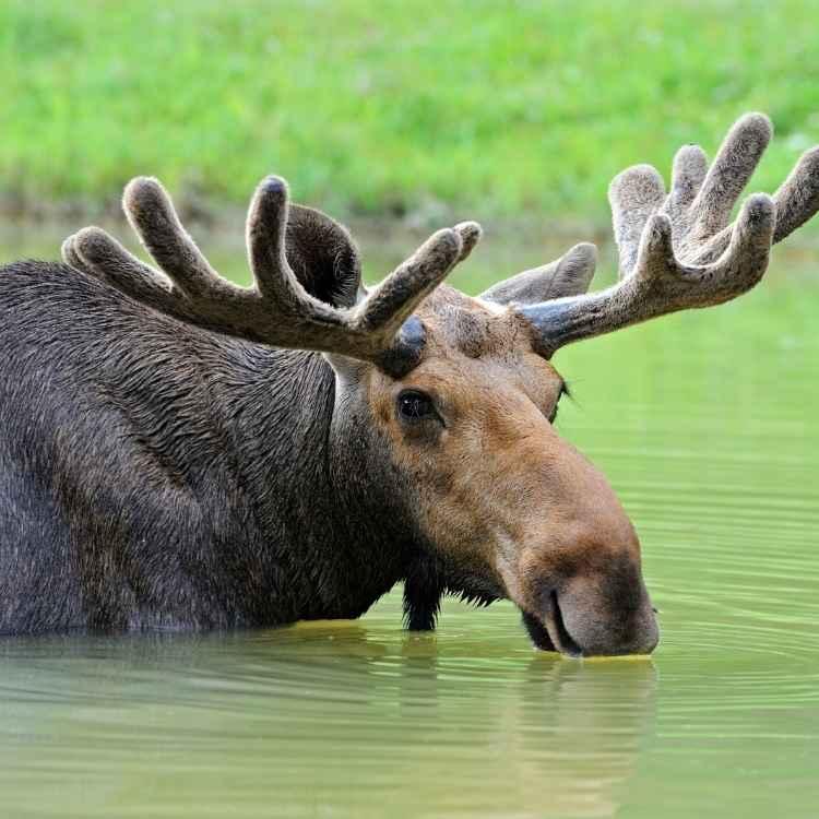 elk spirit animal