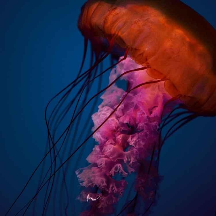 Jellyfish symbolism cultures