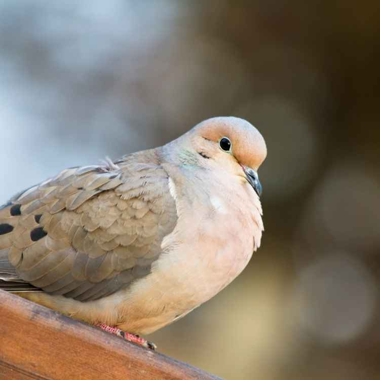 mourning dove meaning