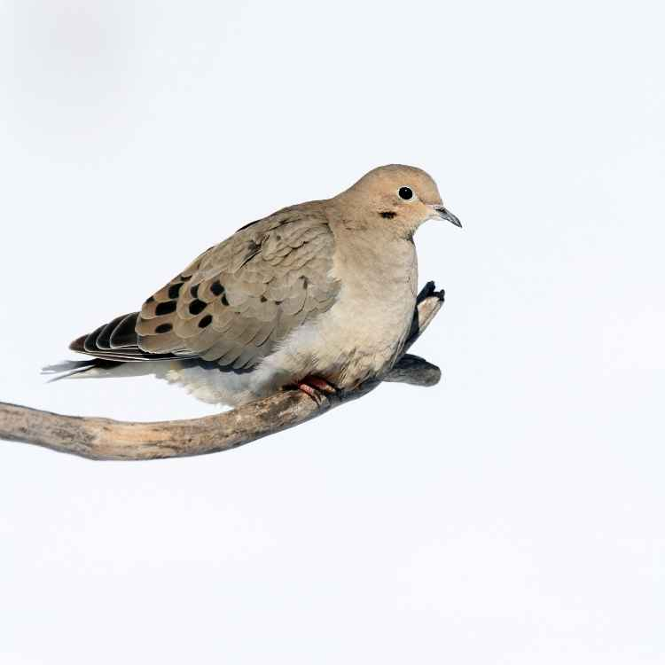 Mourning dove feather meaning