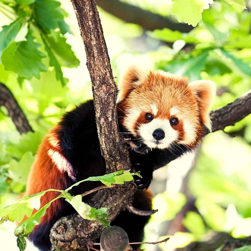 Red Panda spirit animal