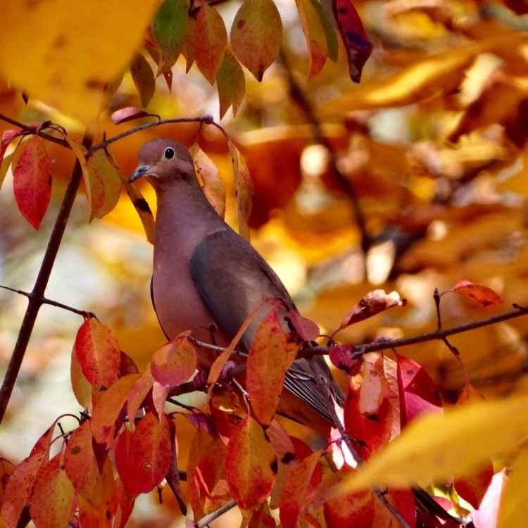 Spirit animal mourning dove