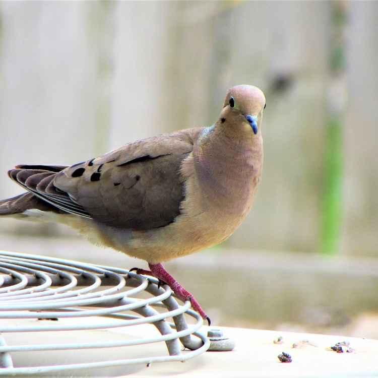 Totem animal mourning dove