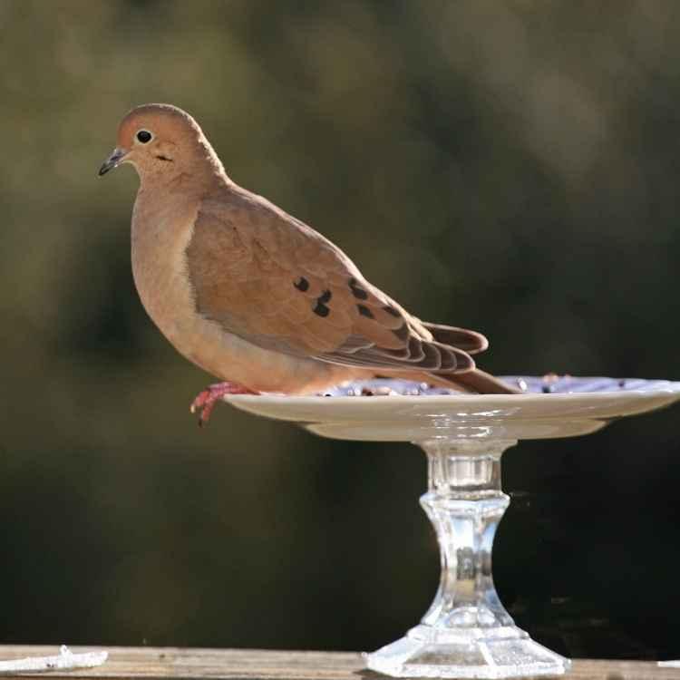 What do mourning doves symbolize