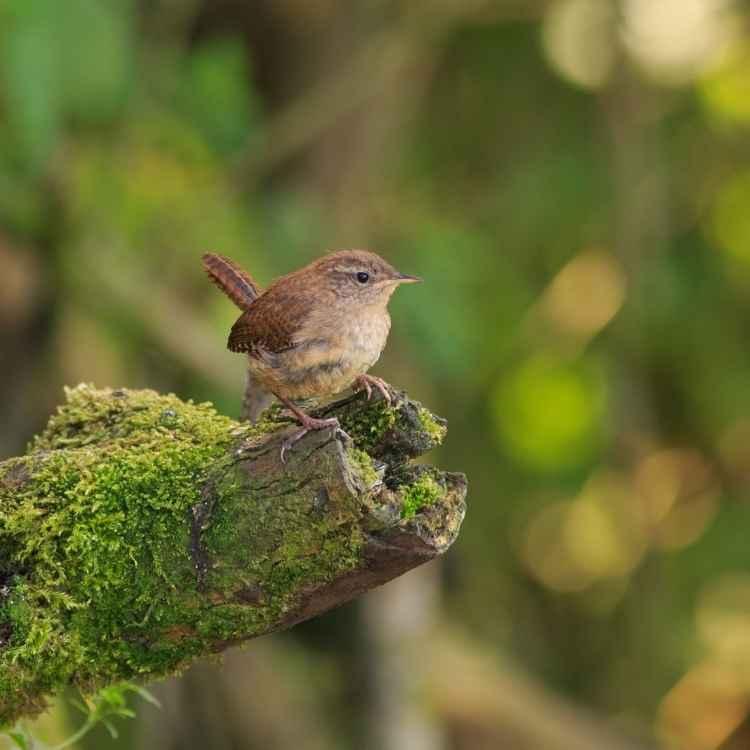 What do wrens symbolize