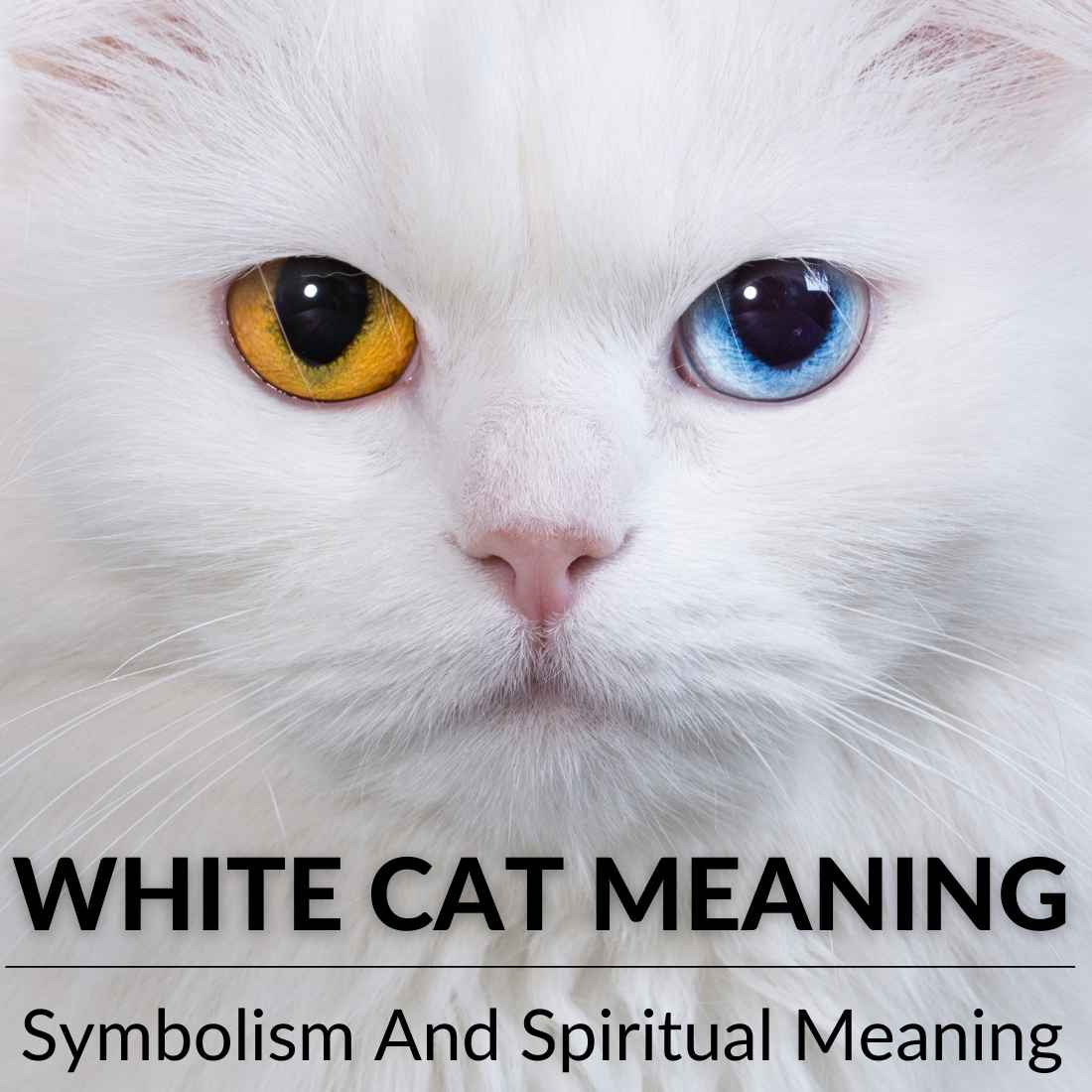 White cat Meaning