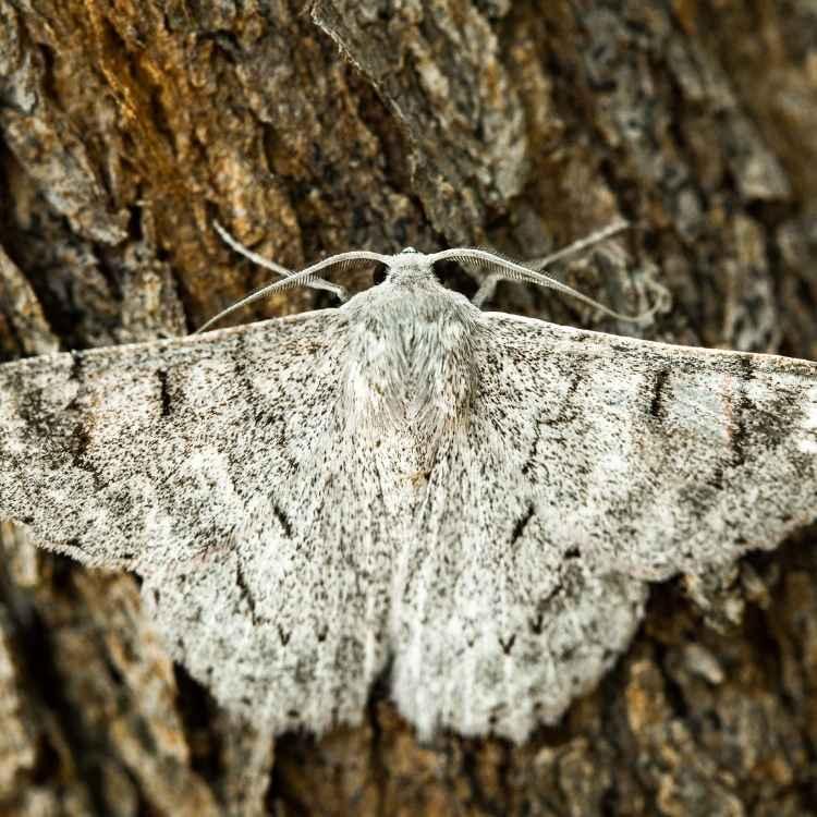 moth dead omen