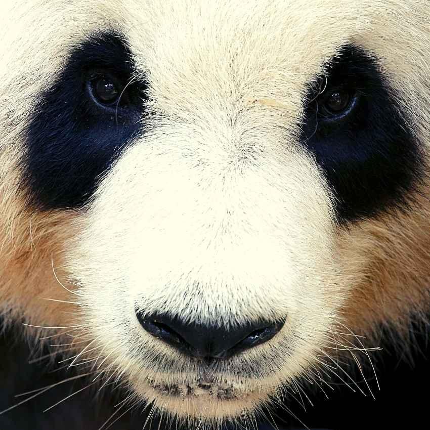 dream of Pandas