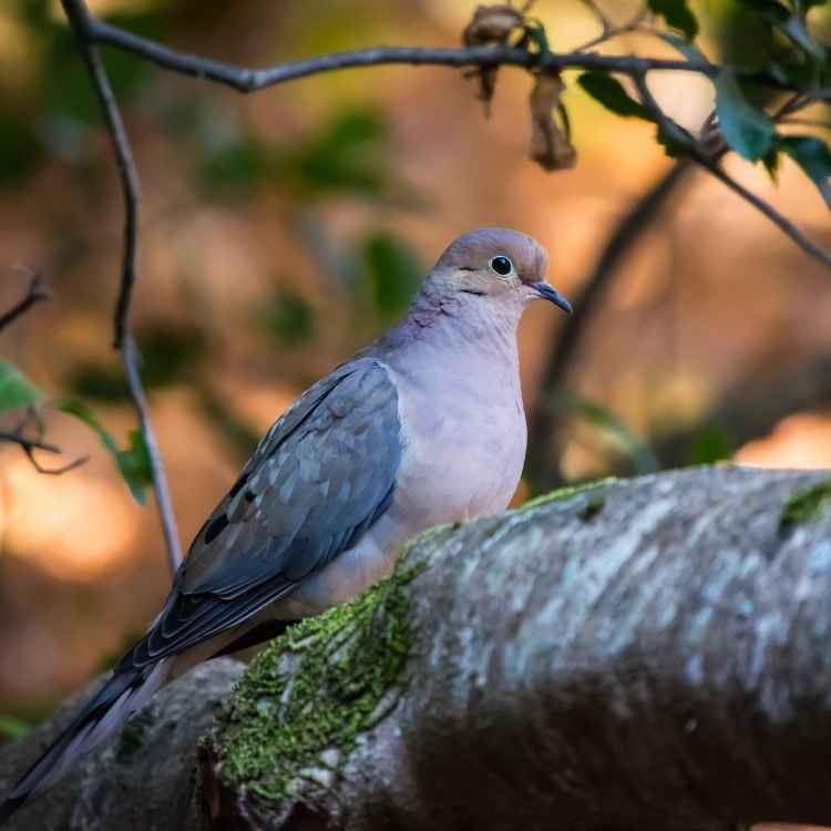 meaning of dreaming of mourning doves