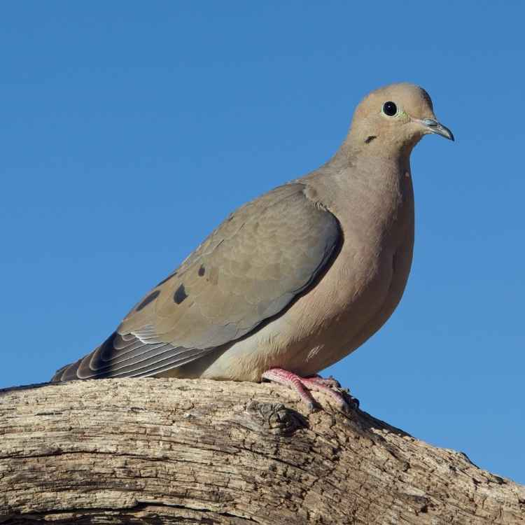 mourning dove symbolism in different cultures