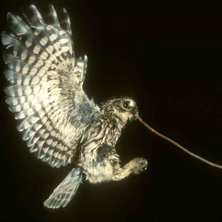 owl catchin snake