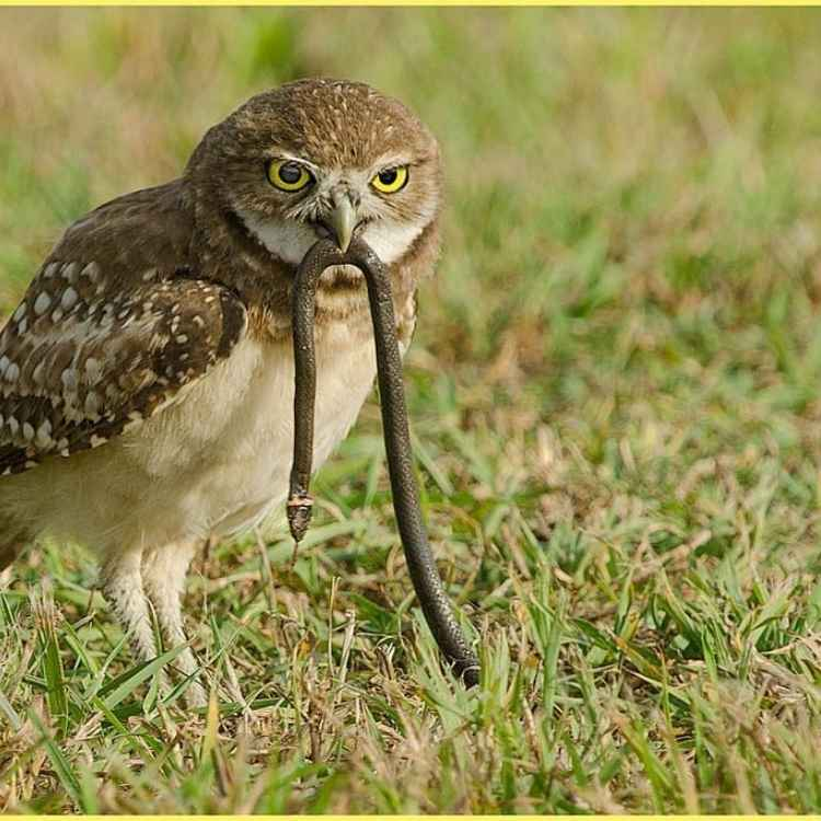 owl snake prey