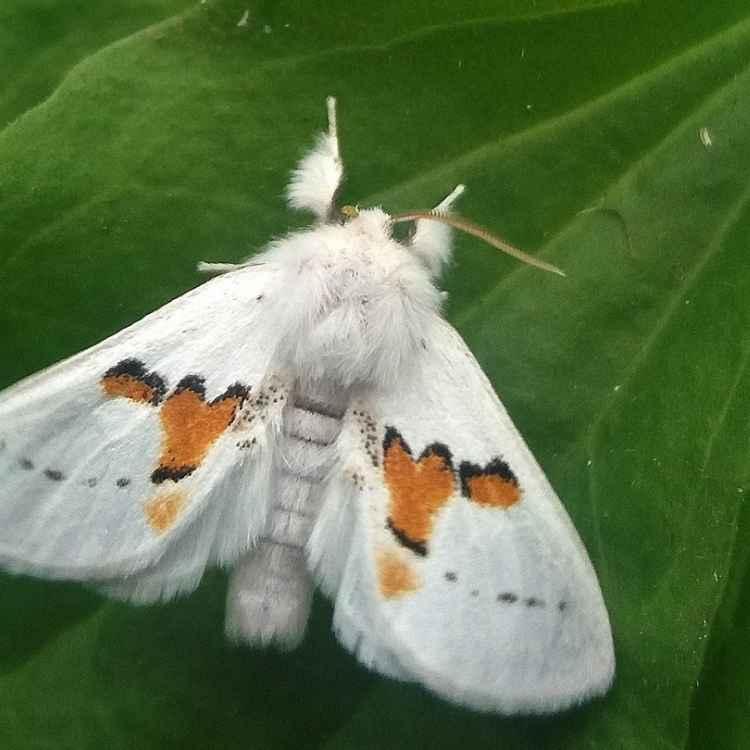 white moth omen